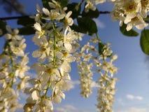 开花的樱桃的枝杈 免版税库存图片