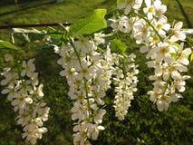 开花的樱桃的枝杈 免版税图库摄影