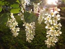 开花的樱桃的枝杈 图库摄影