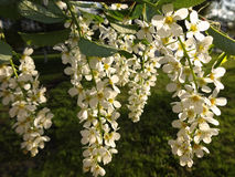 开花的樱桃的枝杈 库存照片