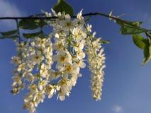 开花的樱桃的枝杈 库存图片