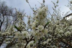 开花的樱桃笔直分支反对天空的 库存照片