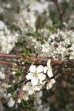 开花的樱桃苹果,在分支的桃子 免版税库存照片