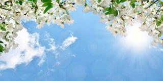 开花的樱桃,与云彩的天空,光亮的太阳 春天Backgroun 免版税库存图片