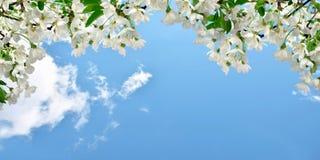 开花的樱桃,与云彩的天空 背景蒲公英充分的草甸春天黄色 全景 库存照片