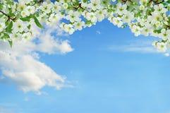 开花的樱桃 春日在庭院里 背景 免版税库存照片