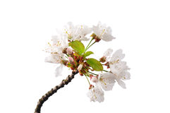 开花的樱桃(李属avium) 免版税库存照片