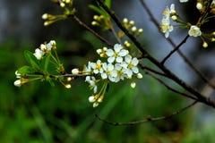 开花的樱桃 樱桃接近的花园红色春天郁金香上升白色 免版税库存照片