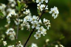 开花的樱桃 樱桃接近的花园红色春天郁金香上升白色 库存照片