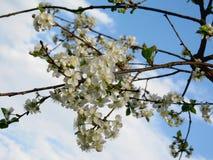 开花的樱桃 图库摄影