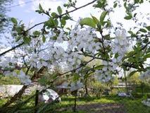 开花的樱桃 免版税库存照片