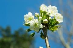 开花的樱桃 库存照片