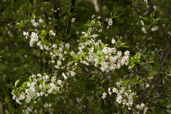 开花的樱桃 库存图片