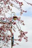 开花的樱花分支有灯笼和蓝天的作为背景 免版税库存图片