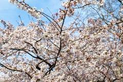 开花的樱花在中山公园在春天,青岛,中国 库存图片