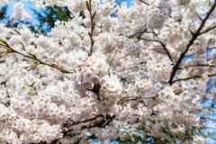 开花的樱花在中山公园在春天,青岛,中国 库存照片
