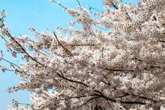 开花的樱花在中山公园在春天,青岛,中国 免版税库存图片