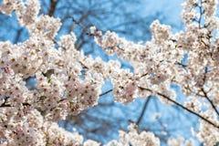 开花的樱花在中山公园在春天,青岛 库存图片