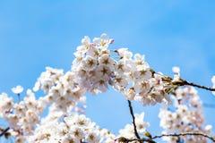 开花的樱花在Zhonshan在春天,青岛, C停放 库存照片