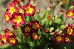 开花的樱草属特写镜头在庭院里 免版税库存照片