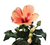 开花的橙色木槿在白色背景开花 免版税库存照片