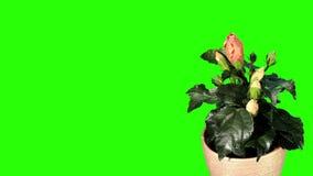 开花的橙色木槿花蕾绿色屏幕, 影视素材