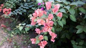 开花的橙色纸花(九重葛)在庭院里 库存图片