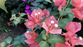开花的橙色纸花(九重葛)在庭院里 免版税库存图片