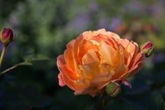 开花的橙色英语在庭院里上升了在一个晴天 大卫奥斯汀起来了 库存照片