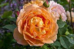 开花的橙色英语在庭院里上升了在一个晴天 大卫奥斯汀起来了 库存图片