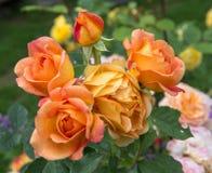 开花的橙色英语在庭院里上升了在一个晴天 大卫奥斯汀起来了 免版税库存图片