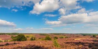 开花的欧石南丛生的荒野的全景图象在Veluwe的 免版税图库摄影