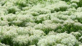 开花的欧蓍草丛林在春天草甸的 股票录像