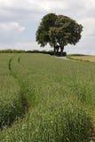 开花的欧洲七叶树, (七页树属hippocastanum)与领域在国家5月,巴德伊堡, Osnabrueck,下萨克森州,德国 免版税库存图片