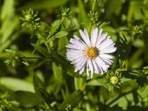 开花的欧洲人Michaelmas雏菊,翠菊amellus,在花圃,花宏指令,选择聚焦,浅DOF 图库摄影