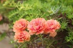 开花的歼击机杀死-在自然的桃红色花 库存图片