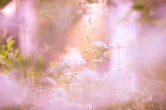 开花的母牛荷兰芹在草甸 免版税库存图片