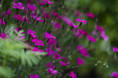 开花的毛茛花 库存照片