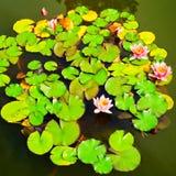 开花的水lillies 免版税库存照片