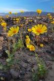 开花的沙漠向日葵(Geraea canescens),死亡谷国家公园,美国 免版税库存图片