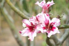 开花的沙漠座莲 免版税库存图片