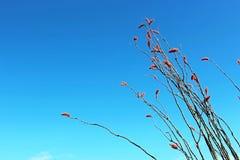 开花的沙漠树,蜡烛木 免版税图库摄影