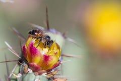 开花的沙漠仙人掌 图库摄影