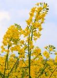 开花的油菜。成熟的黄色强奸花。 免版税图库摄影