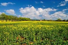 开花的油菜子的领域 免版税库存照片