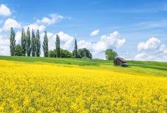 开花的油菜籽在乡下 库存图片