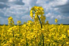 开花的油菜籽植物的特写镜头金黄领域绿色能量和石油工业的,燃料 免版税图库摄影