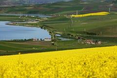 开花的油菜籽的金黄领域在某一湖附近的 库存图片
