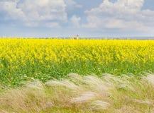 开花的油菜籽的领域与针茅的在前景 免版税库存照片