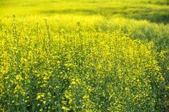 开花的油菜籽的领域 免版税图库摄影